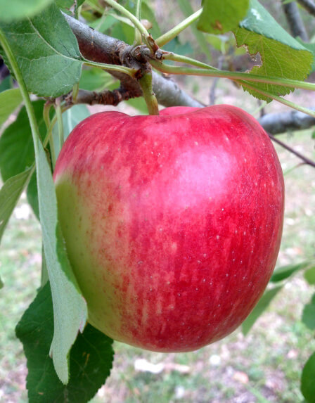 Apple Anna Fruits In Brisbane Climate