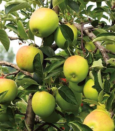 Golden Dorsett Fruits In Brisbane