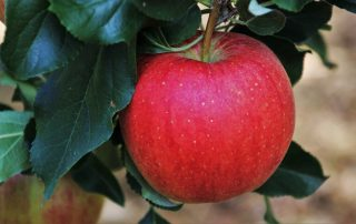 Apple Trees for Brisbane Climate
