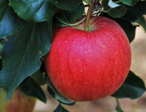 Growing Apple Trees in Hot Weather Climates