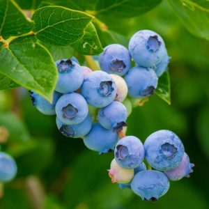 Blueberry OB1 Fruits all year round