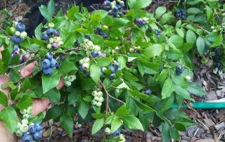 Blueberry Plant For Subtropical Climate