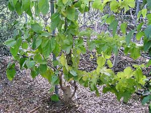 Mulberry fruit tree made into an espalier