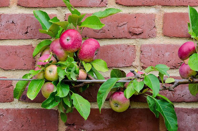 Espaliered Apple Fruit Tree