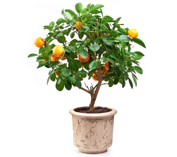 Dwarf Mandarin Fruit Tree